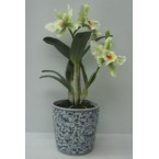 Orchid - Cattleya (in pot) 24inch White