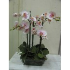 Orchid - Phaelanopsis (Pale Pink) in square glass Pot