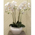 Orchid - White (In Pot) 35inch