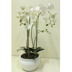 Orchid - White (In Pot) 41inch